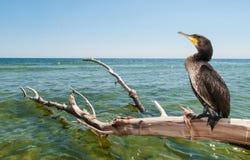 Portret Wielki Cormoran (Phalacrocorax carbo) Fotografia Stock