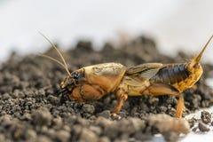 Portret wielki insekta utrzymanie w ziemi - gryllotalpa fotografia royalty free