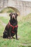 Portret wielki labrador z nicielnicą Zdjęcie Stock