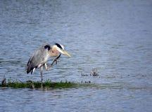 Portret Wielkiego błękita czapla przy jeziorem Zdjęcie Royalty Free