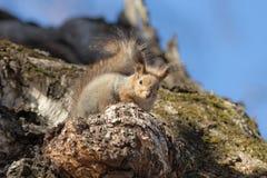 Portret wiewiórka Zdjęcie Stock