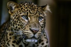 Portret wilde luipaard op de donkere achtergrond Royalty-vrije Stock Foto's