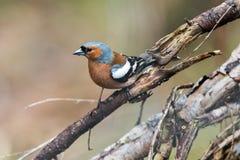 Portret wiosna ptaka Finch obrazy royalty free