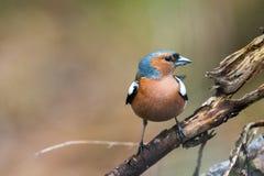Portret wiosna ptaka Finch obrazy stock