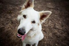 Portret witte herder Stock Foto