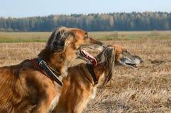 Portret wolfhound psy Fotografia Royalty Free