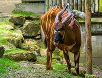 Portret Wschodni halny bongo, krytycznie zagra?aj?cy zwierz?cy specie od Kenya w Afryka, rusza? si? po spirali rogatej antylopy obrazy royalty free