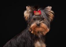 Portret yorkie puppy op lijst met houten textuur Royalty-vrije Stock Afbeeldingen
