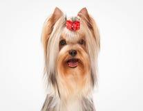Portret yorkie puppy op witte achtergrond Royalty-vrije Stock Afbeeldingen