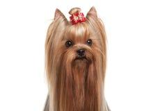 Portret yorkie puppy op witte gradiëntachtergrond Stock Fotografie