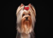 Portret yorkie puppy op zwarte achtergrond Royalty-vrije Stock Afbeeldingen