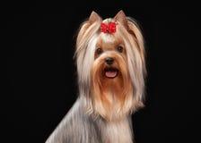 Portret yorkie puppy op zwarte achtergrond Stock Foto
