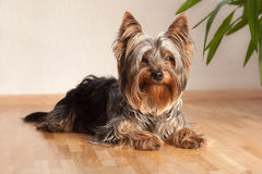 Terrier Obraz Royalty Free