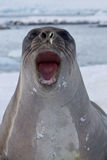 Portret of young southern elephant seal Royalty Free Stock Image