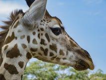 Portret żyrafa Fotografia Stock