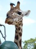 Portret żyrafa Obrazy Stock