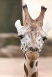 Portret żyrafa (Giraffa camelopardalis) Zdjęcia Stock