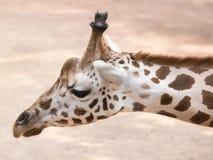 Portret żyrafa (Giraffa camelopardalis) Obrazy Royalty Free