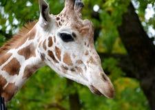 Portret żyrafa siatki Giraffa camelopardalis reticulata Linnaeus Boczny widok Zdjęcia Stock