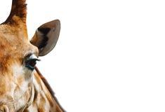 Portret żyrafa w szczególe Obrazy Royalty Free