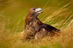 Portret Złoty Eagle, siedzi w brown trawie Przyrody scena od natury Letni dzień w łące Eagle z otwartym rachunkiem obrazy royalty free