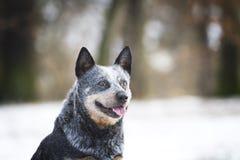 Portret zabawy australijski bydło jest prześladowanym szczeniaka w wiosna śniegu backgrou Obraz Royalty Free