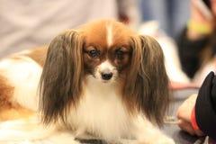 Portret zainteresowany biały i brown Rosyjski Zabawkarski pies, no patrzeje kamery zdjęcie stock