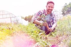 Portret zbiera marchewki przy gospodarstwem rolnym u?miechni?ty m??czyzna zdjęcie stock