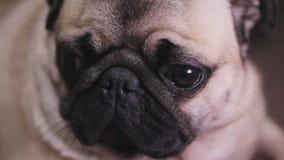 Portret zdziwiony, skołatany psi mops, zdjęcie wideo