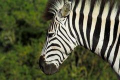 portret zebra fotografia stock