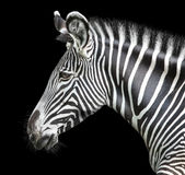 Portret zebra Fotografia Royalty Free