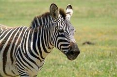 Portret zebra Kaganiec zebra fotografia royalty free