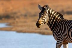 Portret zebra w złotym świetle Obrazy Royalty Free