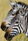 Portret zebra Zakończenie Kenja Tanzania Park Narodowy kmieć Maasai Mara fotografia royalty free