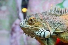Portret zielony iguany zbliżenie Zdjęcie Royalty Free