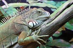 Portret zielony iguany zbliżenie Zdjęcia Royalty Free