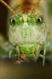 Portret zielony pasikonik Obrazy Royalty Free