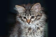 Portret zielonych oczu śmieszny kot zdjęcie royalty free
