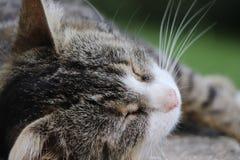 Portret zwierzę domowe figlarki lub kota dosypianie na ziemi obraz stock