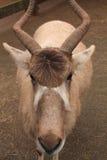 Portret zwierzęcy addax w zoologicznym parku Obraz Stock