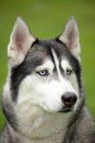 portreta łuskowaty siberian fotografia stock