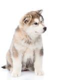Portreta alaskiego malamute szczeniak pojedynczy białe tło Zdjęcia Stock