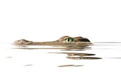 Portreta aligator Obraz Royalty Free