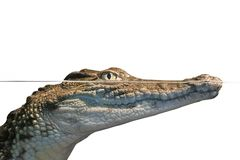 Portreta aligator Fotografia Royalty Free