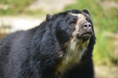 Portreta Andyjski niedźwiedź fotografia royalty free