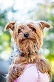 Portreta brązu pies traken Yorkshire Terrier_ zdjęcia royalty free
