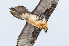 Portreta brodatego sępa dorosły ptak w lota gypaetus barbatus Zdjęcie Stock