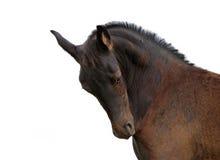 Portreta brown koń Zdjęcie Royalty Free