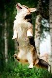 portreta corgi psa uśmiechnięty szczęśliwy Walijski skok zielony park i drzewa na tle zdjęcia royalty free