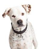 Portreta dalmatyńczyka Crossbreed pies obraz royalty free